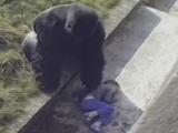 Jambo, el gorila que protegió a niño caído en su jaula